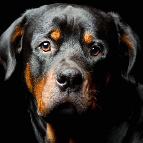 rottweiler meaning rottweiler names and names for rotties