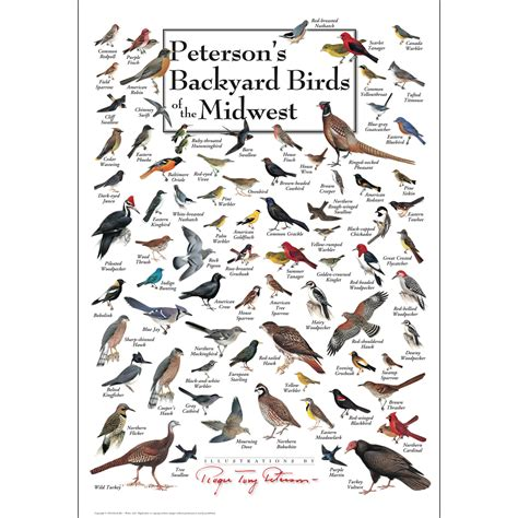 peterson s backyard birds of the midwest poster earth