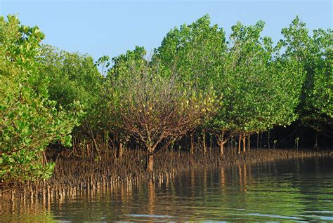 the golden forest exploring a coastal california ecosystem term ecological research books image gallery mangrove biome