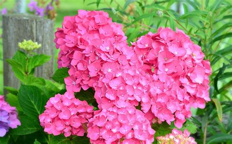 wallpaper flower hydrangea pink hydrangea wallpaper flower wallpapers 46365