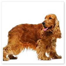 cocker spaniel colors and american cockers history