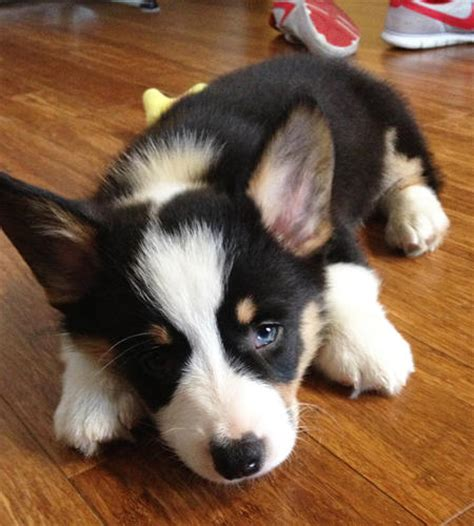 tri color corgi puppy benedict the pembroke corgi puppies daily puppy