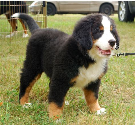 bernese mountain puppies cost bernese mountain puppy on the leash png