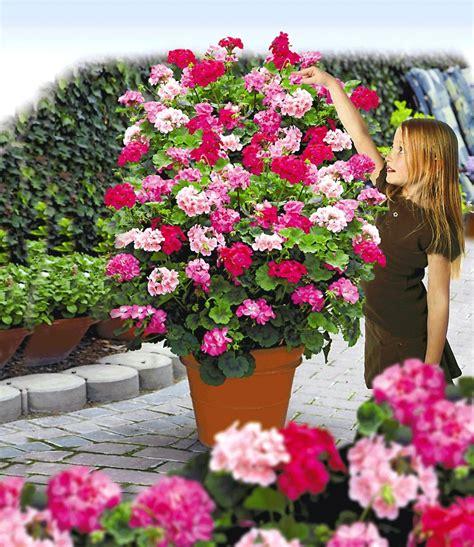 Winterharte Pflanzen Für Balkon 837 by Kletter Geranien Pac 174 Antik Serie 174 Geranien Bei Baldur