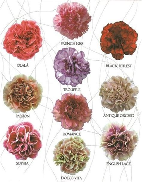 carnation colors 39 best images about flower names on oviedo