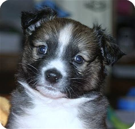 australian shepherd pomeranian mix for adoption adopted puppy santa ca pomeranian australian shepherd mix