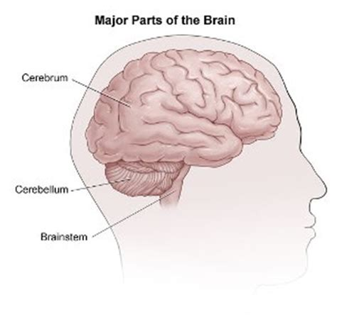 what are the three main sections of the brain how the brain works johns hopkins comprehensive brain