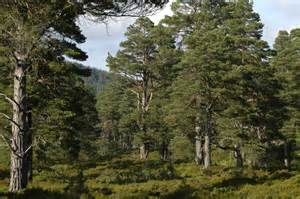 Glen Affric file ancient caledonian forest glen tanar geograph org
