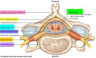 cross section spinal cord spinal cord anatomy parts and spinal cord functions
