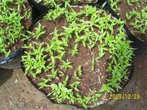 Bibit Cabai Unggul cara memilih benih bibit cabai rawit