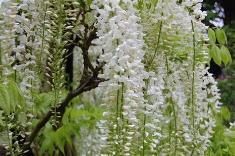 wisteria flower wisteria floribunda alba landscape architect s pages