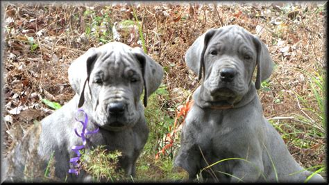 blue great dane puppies 25 mind blowing blue great dane pictures and photos