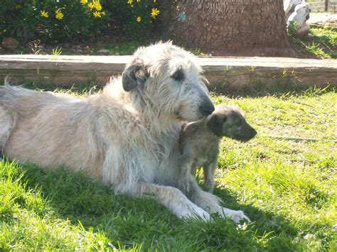 rescue pa wolfhound rescue pa