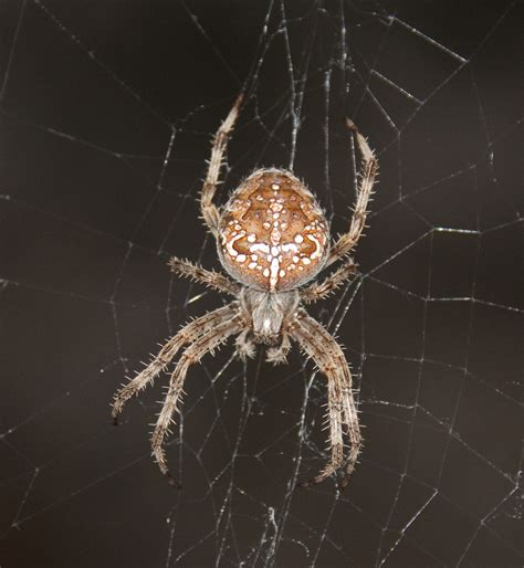 Garden Spider Uk Wiki Photo Store Garden Spiders Photos