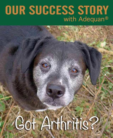 adequan for dogs our success with adequan for arthritis chasing tales