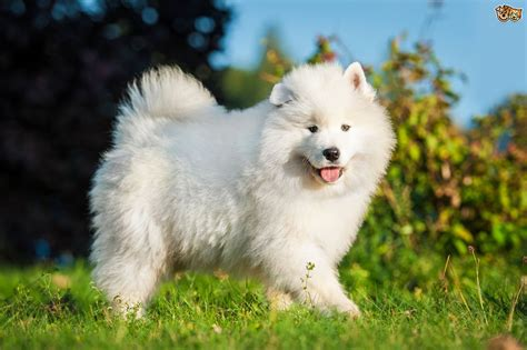 buy samoyed puppy samoyed breed information buying advice photos and facts pets4homes