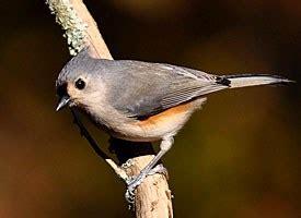 tufted titmouse identification   birds cornell