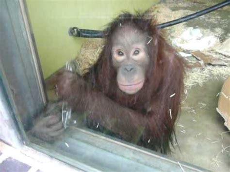 Gorden Awan orangutan nursery at monkey world