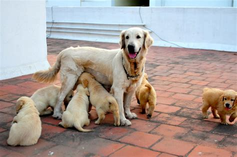 how much does golden retriever cost how much does golden retriever cost in india photo