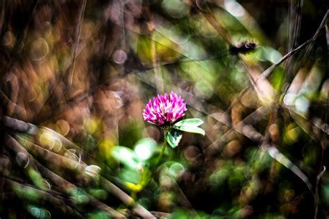 fiore trifoglio fior di trifoglio juzaphoto