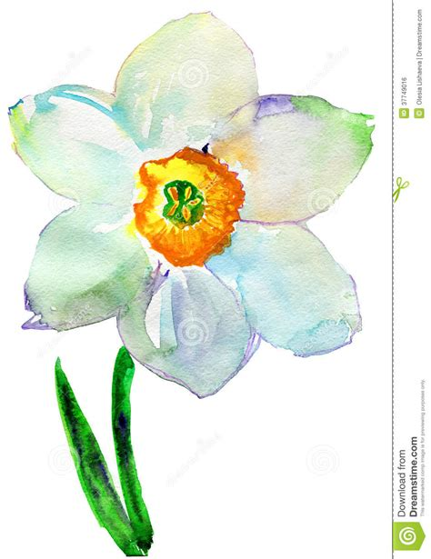 narcissus flower watercolor royalty free stock image