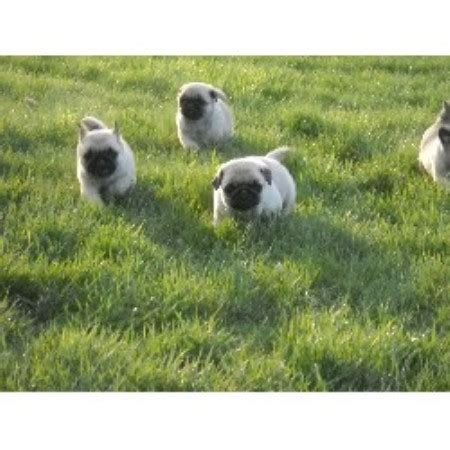 pugs for sale in maine brook ridge farm pug breeder in cushing maine listing id 15757