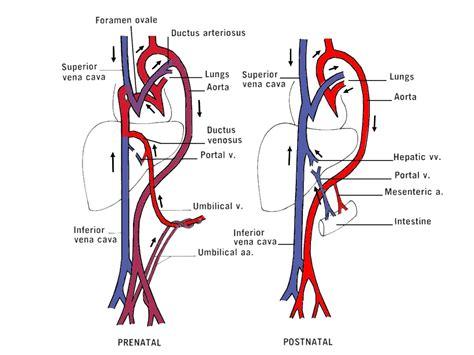 fetal circulation diagram figure 23 13