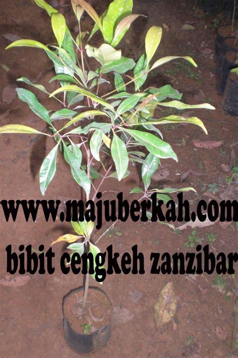 Jual Bibit Cengkeh Ponorogo jual tanaman rempah tanamanbaru