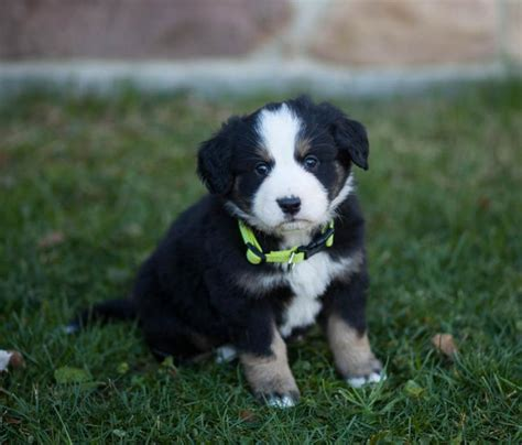 great bernese puppies for sale friendly fluffballs bernese mt great pyrenees mix craigspets