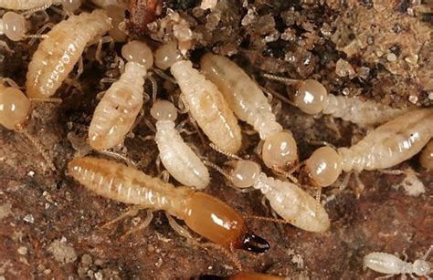 interesting termite facts  interesting facts