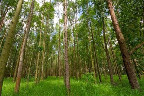 eucalyptus trees eucalyptus tree genome deciphered key to new