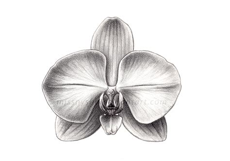 sci illust 3 phalaenopsis sp by missnysha on deviantart