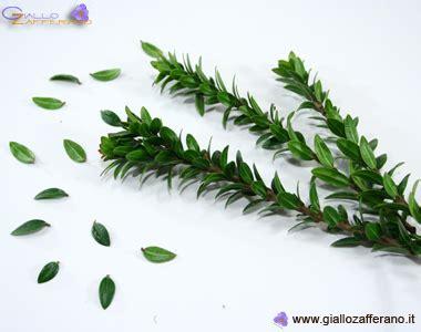 pianta di mirto in vaso pianta mirto sardo giardino siepe cespuglio vaso 216 7 x 7 h