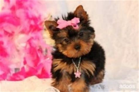 teacup yorkies for sale in albany ny pets albany ny free classified ads