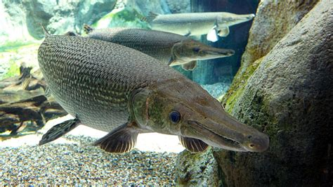 Ikan Aligator Spatula alligator gar not effective weapon against asian carp says biologist chicago tonight wttw