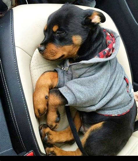 rottweiler the cat so much 17 best images about rotties them so much on best dogs rottweiler