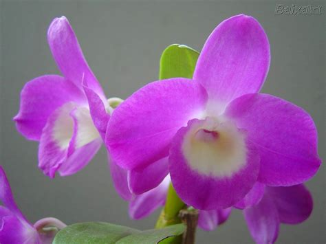 imagenes hermosas de orquideas orquideas flores para ti my friends