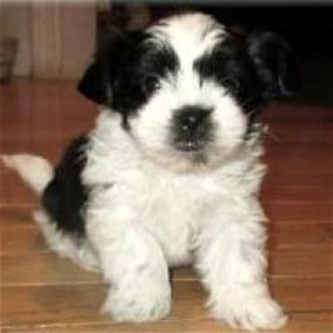 mi ki puppy miki breed information