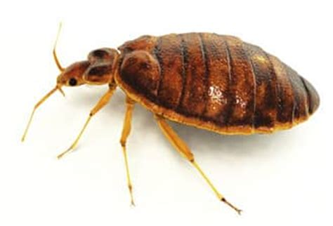 How Are Bed Bugs Spread by Can Bed Bugs Spread Disease