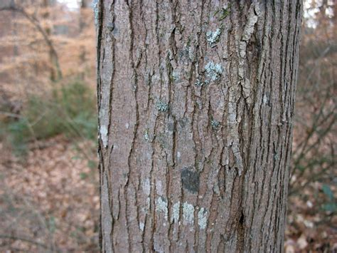 maple tree bark identification using plants barking up the right tree