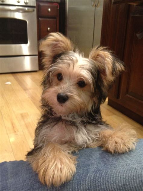 maltese yorkie haircuts milo my morkie my style pinterest dog yorkies and