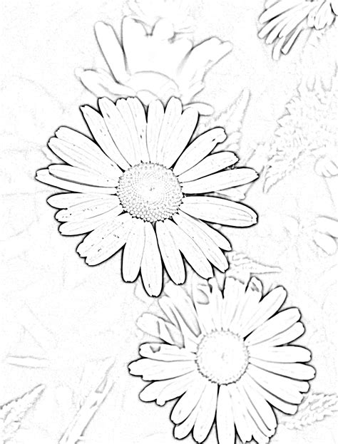 drawn daisy posy flower pencil and in color drawn daisy