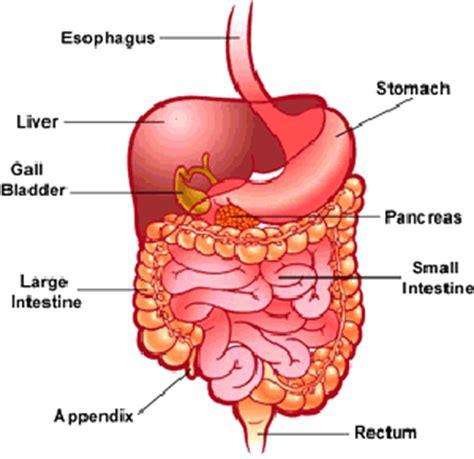 chitraroff, stephen / anatomy_digestion unit