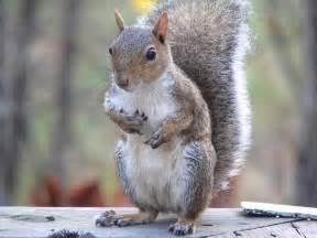 free photo eastern grey squirrel sitting free image on