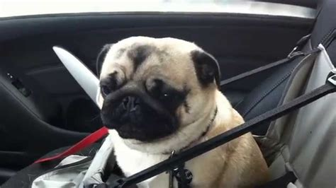 pug store loses it after finding out he s at pet store pug
