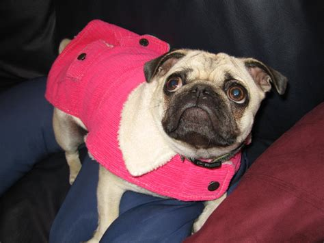 clothes for pugs uk coats for pugs breeds picture