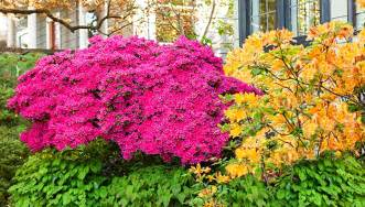 colorful bushes 13 great shrubs for color
