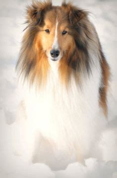 1000 images about collie on pinterest shetland sheepdog rough