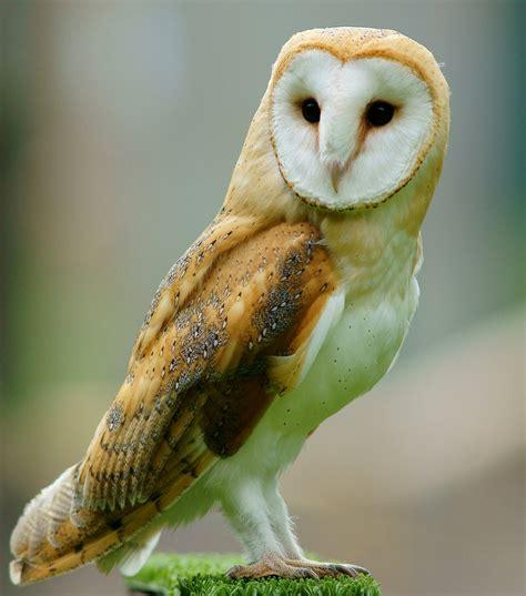 Owl Maxy By Dans quand le froid de l hiver les chouettes 224 chasser le