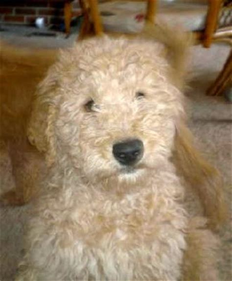 german shepherd poodle mix puppies the german shepherd poodle mix a k a the shepadoodle dogable